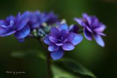 玉敷公園の紫陽花7
