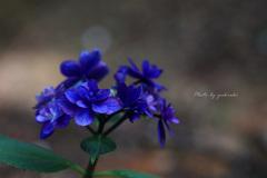 玉敷公園の紫陽花12