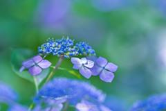 権現堂公園の紫陽花Ⅵ