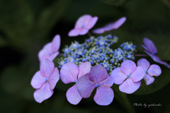 玉敷公園の紫陽花4