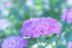権現堂公園の紫陽花Ⅸ