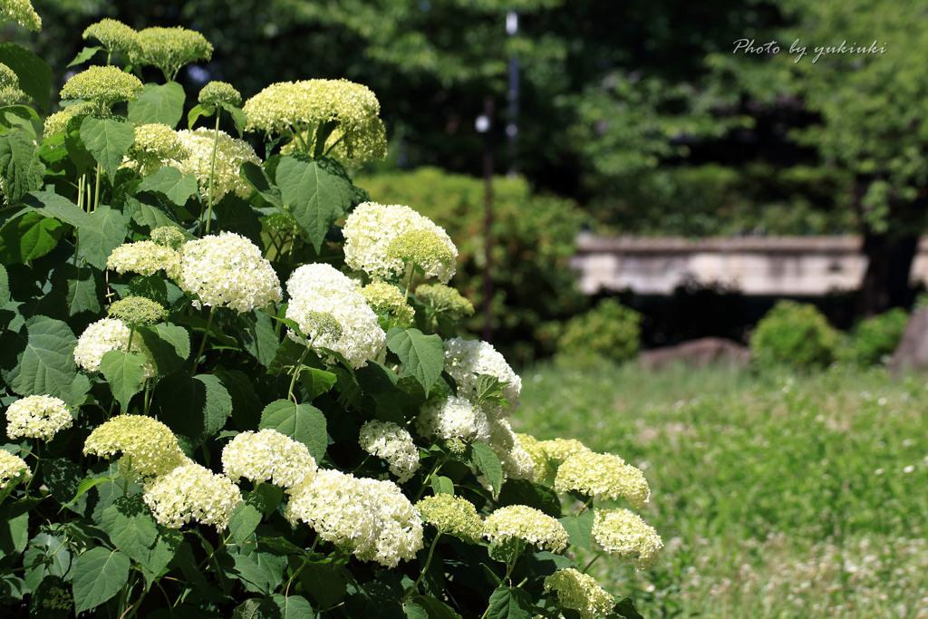 玉敷公園の紫陽花13
