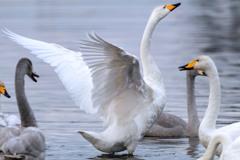 多々良沼の白鳥Ⅴ