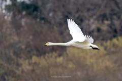 多々良沼の白鳥Ⅲ