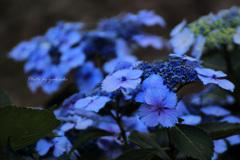 玉敷公園の紫陽花9