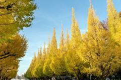 神宮外苑の銀杏並木Ⅴ
