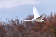 多々良沼の白鳥Ⅳ