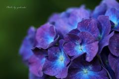 玉敷公園の紫陽花10