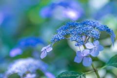 権現堂公園の紫陽花Ⅶ