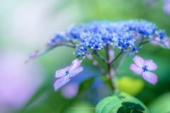 権現堂公園の紫陽花Ⅲ