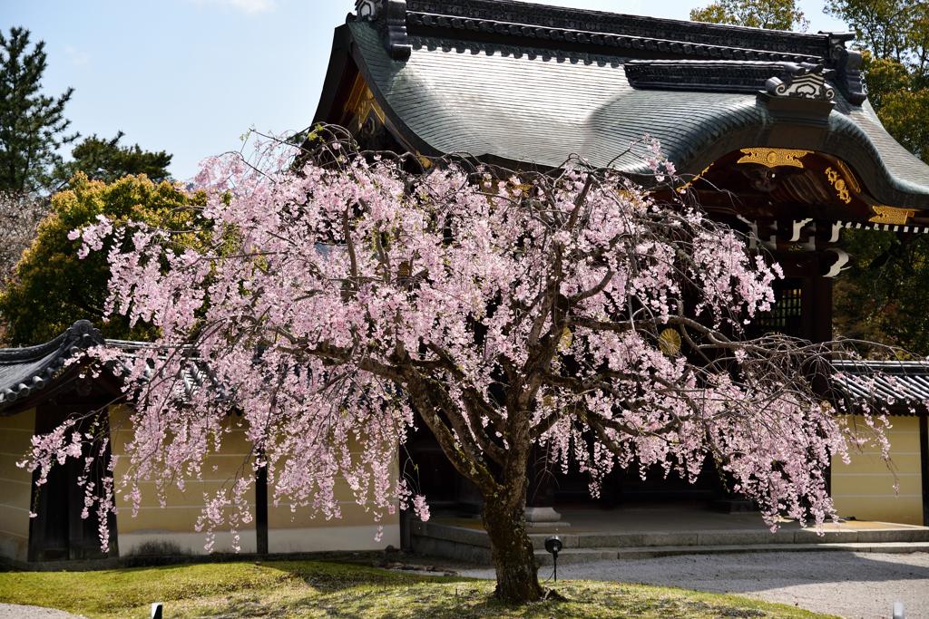 大覚寺 勅使門と枝垂桜