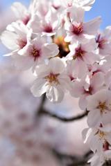 当麻寺の桜
