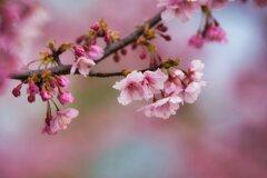 馬見の河津桜