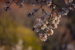 旬は一瞬・・・山桜