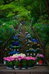 紫陽花の道~長谷寺