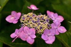 額紫陽花③