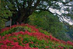 千年桜と曼殊沙華