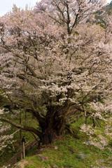 佛隆寺の千年桜 〈弐〉