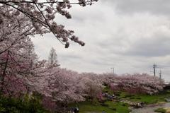 雨上がりの桜⑤