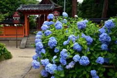 春日神社本殿と紫陽花