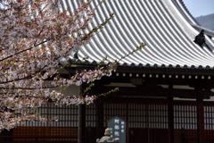 阿弥陀堂と桜