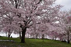 雨上がりの桜④