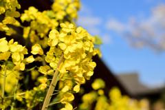 菜の花~~♪