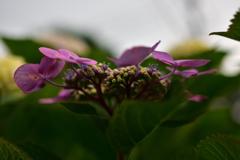 額紫陽花②