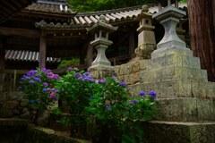 紫陽花咲く~長谷寺