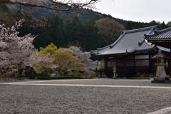 阿弥陀堂と桜③