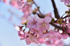 馬見の河津桜①