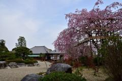 枝垂桜と本堂と阿弥陀堂