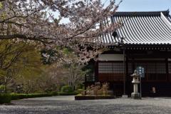 阿弥陀堂と桜②
