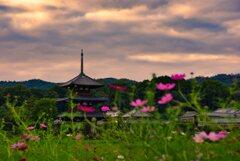 咲き始めた秋桜~法起寺
