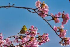 メジロ君の春