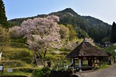 榛原の千年桜②