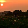 蓮田に陽が沈む