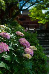 本殿前の紫陽花