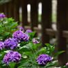 紫陽花のある寺 弐