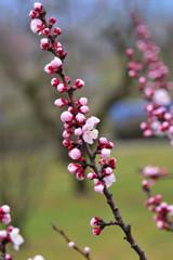 春の香り 杏子♪