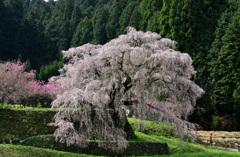 本郷の瀧桜 〈3〉