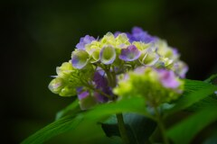 色づき始めた・・・紫陽花