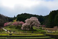 本郷の瀧桜 〈2〉