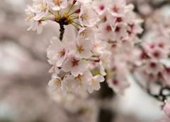 雨上がりの桜②
