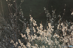 月ヶ瀬の梅