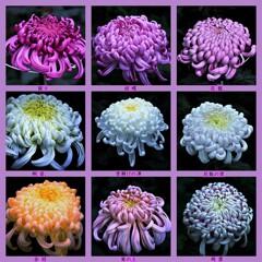大菊のコラージュ