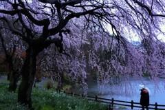 下の池の枝垂桜