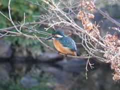 日比谷公園のカワセミ