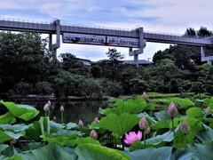 千葉モノレールと蓮の花