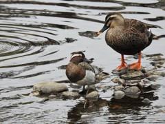 野川の野鳥達